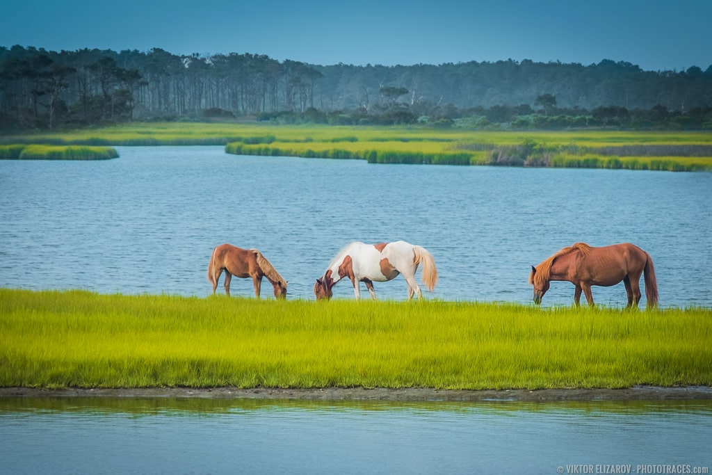Wild Ponies on the Beach (Maryland) - PhotoTraces