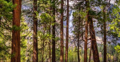 Upper Yosemite Falls Through Pine Fence (California)