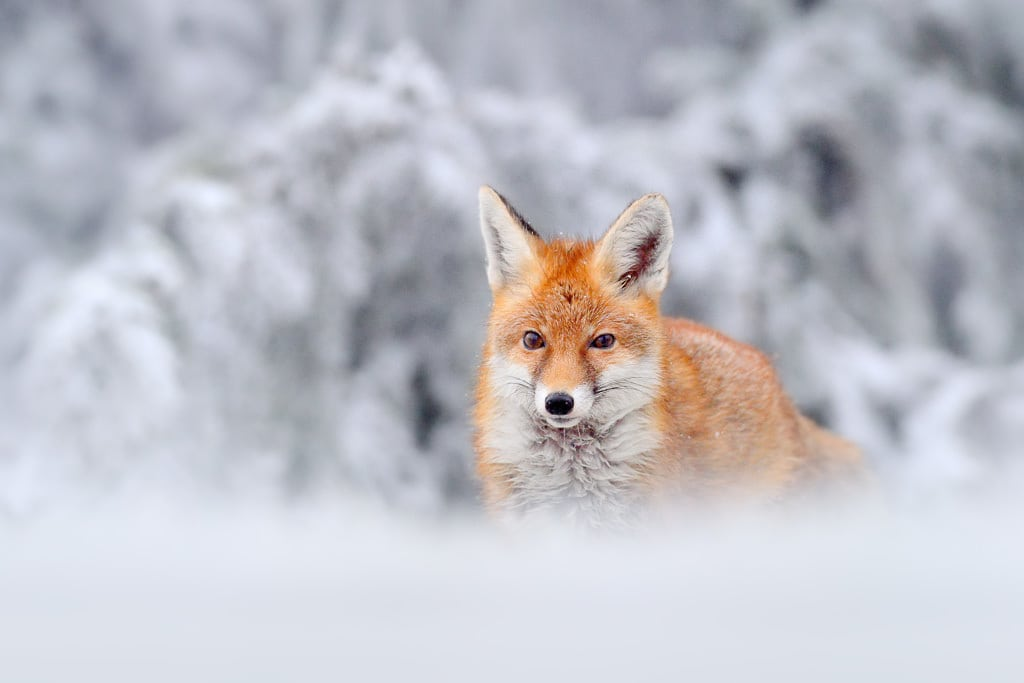 Finding Wildlife to Photograph - Fox in Winter