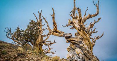Ancient Bristlecone Pine Forest (California)